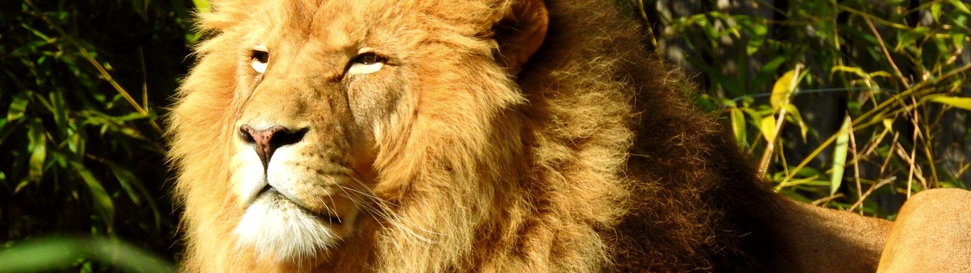 Lion au Zooparc de Beauval